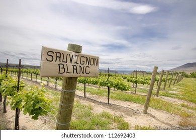 Sauvignon Blanc Grapes Plant Growing in Vineyard in Maryhill Washington State