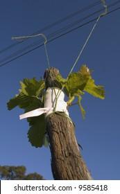 Sauvignon Blanc scion grafted to grapevine rootstock