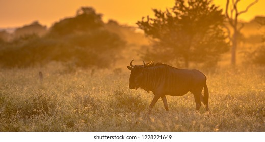 Savanna bush back lit by Orange morning light with Common Blue Wildebeest or Brindled Gnu (Connochaetes taurinus) walking by on famous S100 road in Kruger national park South Africa