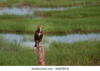 Savanna Hawk bird in the South Pantanal of Brazil.