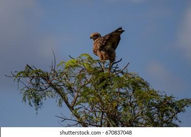 Savanna hawk in Brazilian Cerrado