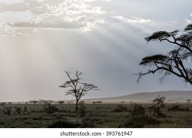 Savanna plain with acacia trees against storm cloud sky with sun beams background. Serengeti National Park, Tanzania, Africa.
