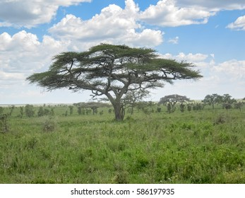 Savanna plain with acacia trees against sky background. Serengeti National Park, Tanzania, Africa.