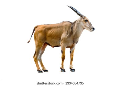 Savannah animal, Male Eland antelope (Taurotragus oryx) isolated on white background, with clipping path