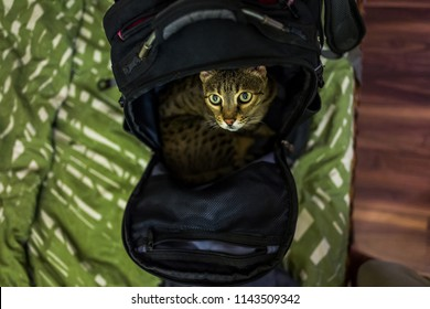 A Savannah cat in a backpack