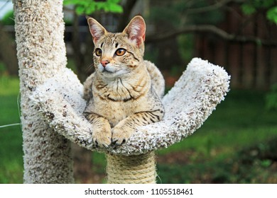Savannah cat. Beautiful spotted and striped gold colored Serval Savannah kitten with orange eyes on a cat tree outside.