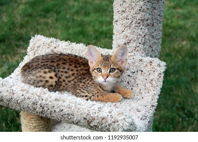 Savannah cat. Beautiful spotted and striped gold colored Serval Savannah kitten with yellow eyes on a cat tree outside.