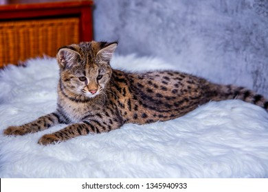 Savannah F1, a hybrid of Serval and Savannah.