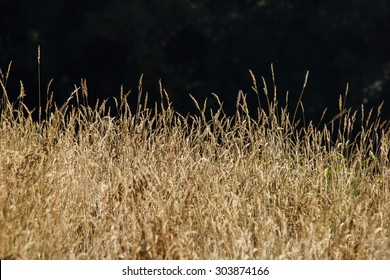 Savannah grass field in sun backlight,Twinkle with sunlight at noon.Dark background.