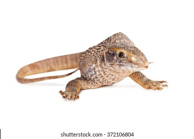 Savannah monitor lizard isolated on a white background
