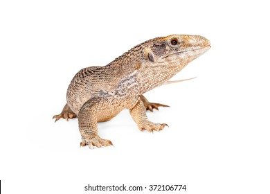 Savannah monitor lizard looking to the side on a white studio background