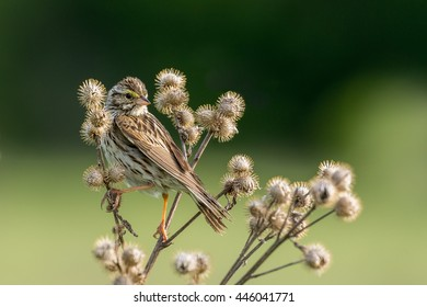 Savannah Sparrow - Passerculus sandwichensis, camouflaged while doing the splits in the thistles.