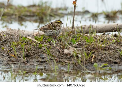 Savannah Sparrow standing on a mud flat at the edge of the water.  Ashbridges Bay Park, Toronto, Ontario, Canada.
