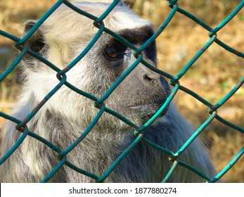 Save Animal and let animal free from cage concept, animal cruelty, Langur Monkey closeup. Langur Monkey in cage.