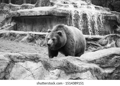 Save an animal today. Wild animal of the bear family in natural environment. Wild bear species. Brown bear on nature. Bear or ursus arctos. Dangerous predatory mammal.