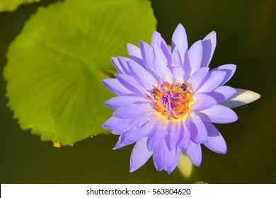 Save Download Preview Water lily flower in the pond in the morning