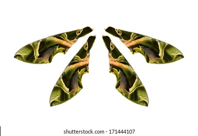 Save to a Lightbox �¢?�¼  Find Wing Similar Images  Share �¢?�¼Oleander Hawk-moth (Daphnis nerii) isolated on white background