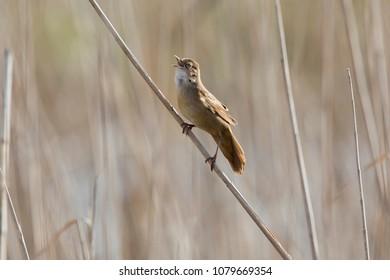 Savi's warbler (Locustella luscinioides) singing on reed  in nature reserve Zouweboezem (Lexmond, the netherlands)