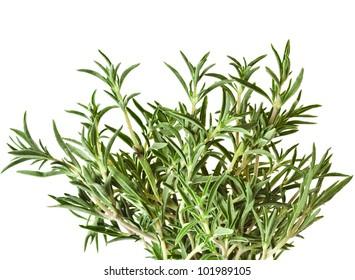 Savory fresh herb isolated on white background