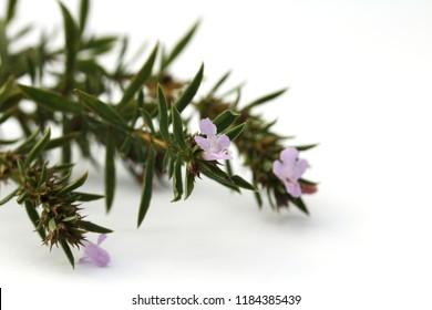 Savory (Satureja kitaibelii) isolated on white. - Shutterstock ID 1184385439
