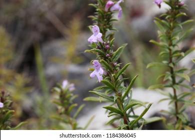 Savory (Satureja kitaibelii) in natural habitat. - Shutterstock ID 1184386045