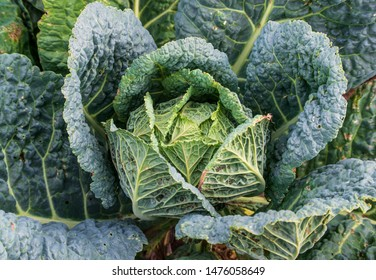 savoy cabbage growing in an organic self sufficient garden