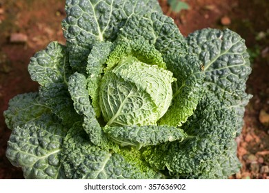 Savoy cabbage super food with bug. Top view