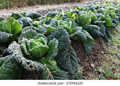 Savoy cabbage in the winter garden. Farm near Milan, Italy.
