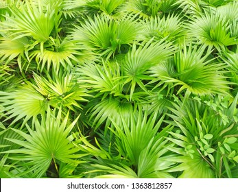 Saw palmetto extract is an extract of the fruit of the saw palmetto. 				Scientific name :  Serenoa repens. 				Higher classification : Serenoa