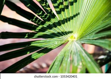 A saw palmetto's leaf