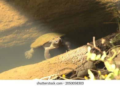 Saw shelled turtle resting at Broken River, Eungella national park Queensland Australia