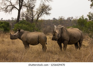 Saw this Rhinoceros with her calf whilst visiting the famous Kruger National Park in South Africa.