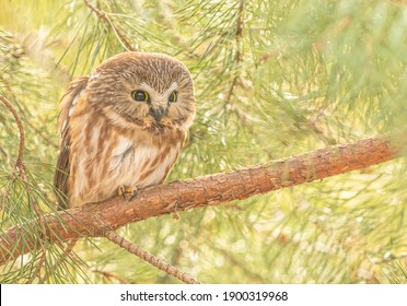 A saw whet owl perched on a branch in a pine tree looks straight ahead