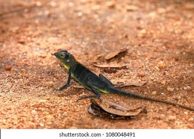 Sawback agama in the jungle of Sinharaja in Sri Lanka