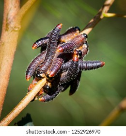 Sawfly grubs, Pergidae, possible new species. Black grubs with orange tips cluster on a twig in North, New South Wales , Australia.
