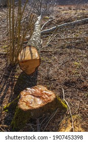 Sawn birch tree on the forest floor