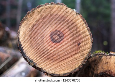 Sawn tree trunk in cross section with annual rings