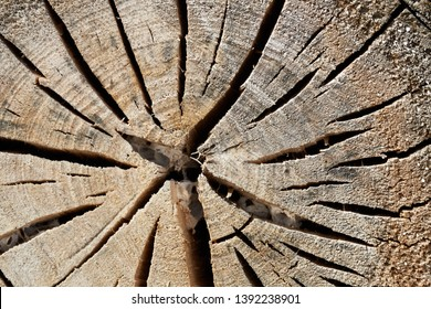 sawn weathered trunk of a poplar with cracks