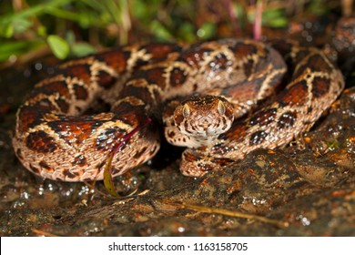 Saw-scaled viper or Echis is a small venomous viper found in western ghats of India. It is considered one of the big four venomous snakes of India.