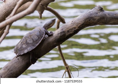 Saw-shelled turtle (Wollumbinia latisternum) basking a branch overhanging the Barron River. Kuranda, Queensland, Australia.