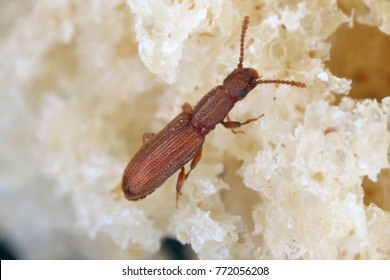 The sawtoothed grain beetle Oryzaephilus surinamensis is a insect of family Cucujidae. It is a common worldwide pest of grain and grain products as well as fruit, chocolate, drugs, and tobacco