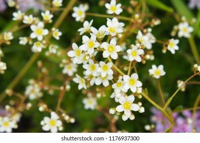 Saxifraga paniculata brevifolia white flowers