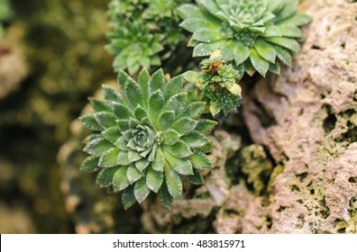 Saxifraga Stribrny of beautiful small rock flower. - Shutterstock ID 483815971