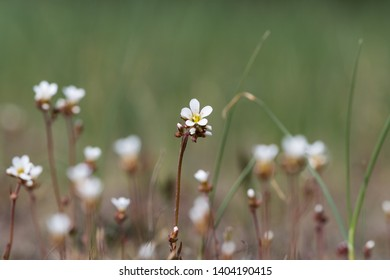 Saxifrage flower closeup in a meadow by a natural blurred background