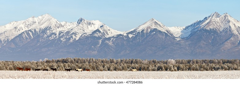 Sayan Mountains in winter. Herd of horses. Panorama