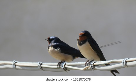 The saying goes that a swallow does not make spring but it certainly brings it with it I call it the little bird in frac \ Swallows