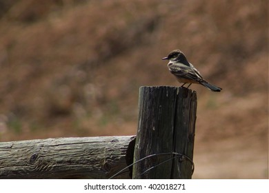 Say's Phoebe Perched on Fence Post