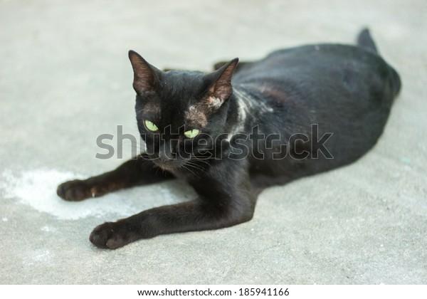Scabies black Thai cat