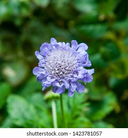 Scabiosa africana is a two-hearted plant species described by Carl Von Linne. Scabiosa africana is included in the genus field hosts, and the family Dipsacaceae.