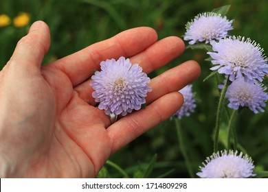 Scabiosa columbaria 'Butterfly Blue'. Close up hand of a woman holding a blossom of beautiful blue Scabiosa columbaria 'Butterfly Blue'. Several flowers in the background.